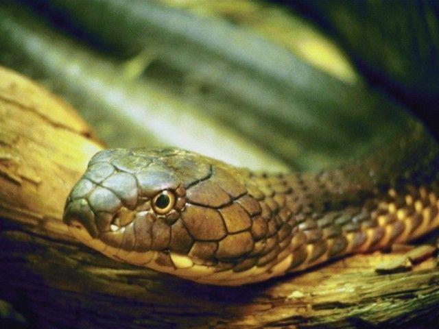 Cobras podem deglutir alimentos