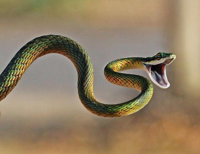 acasalamento das cobras