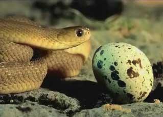 ovos de cobra