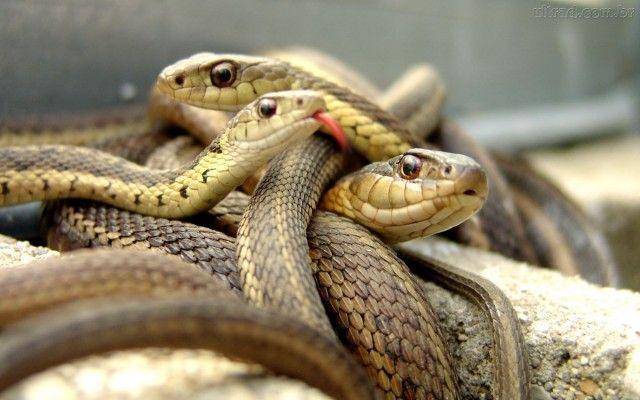 Se cobras não tem orelhas, elas não escutam