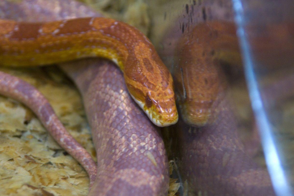 serpente de milho