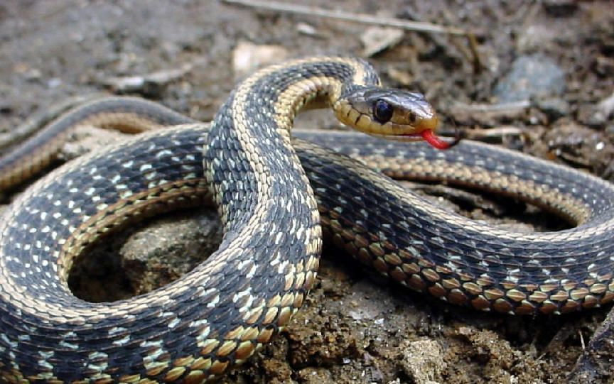 tipos de cobra