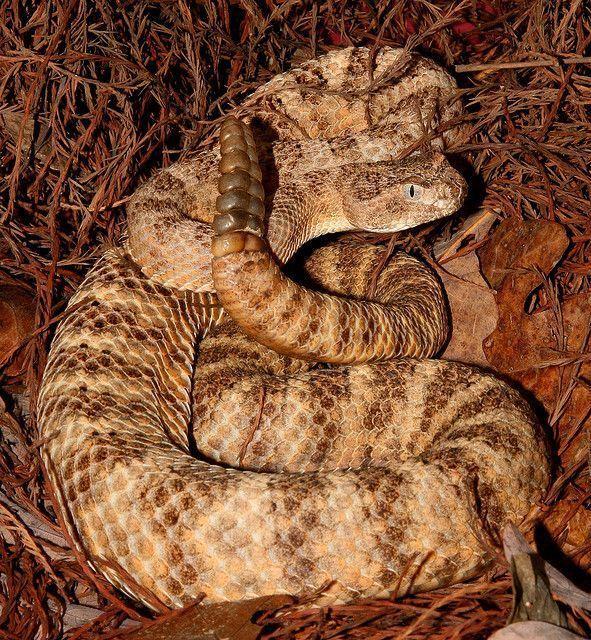 Cobra Crotalus Tigris
