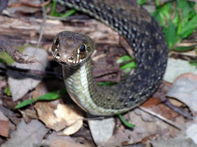 Cobra rateira