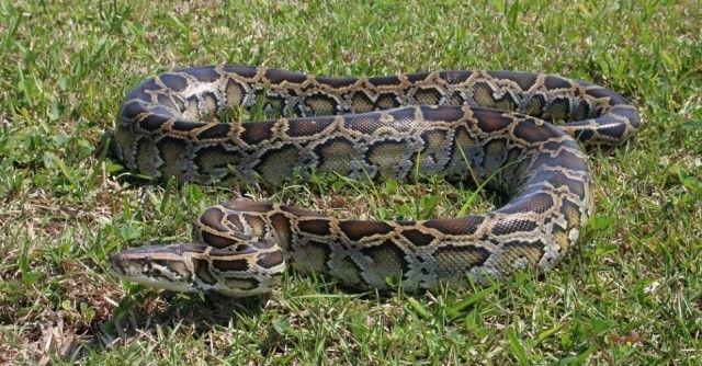 Cobra pitão africana