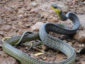 Cobra papa-ovo