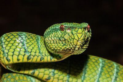 Cobra Bornean Pitviper