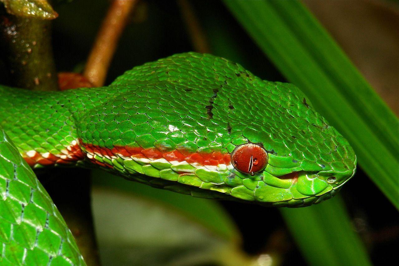 Cobra Pope's Bamboo Pitviper