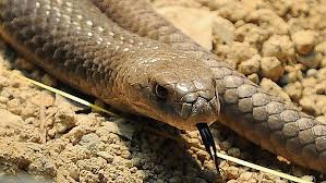 pele de cobra