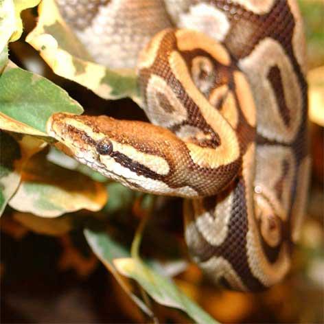 as maiores cobras do mundo piton real
