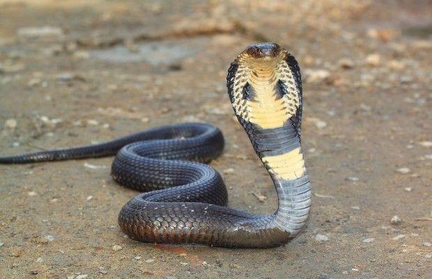 maiores cobras do muno Cobra King Snake