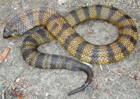 serpente tigre